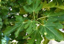 İncir yaprağı faydaları